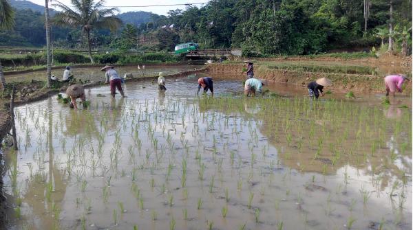 Puluhan Hektare Tanaman Padi Aceh Utara Terendam