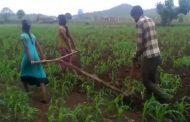 Pengganti Sapi, Ayah di India Gunakan 2 Putrinya Membajak Sawah