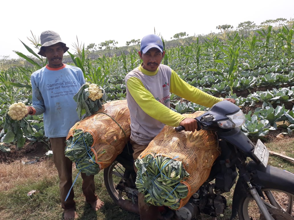 Petani Brokoli Mengeluh di Tengah Hasil Panen Melimpah