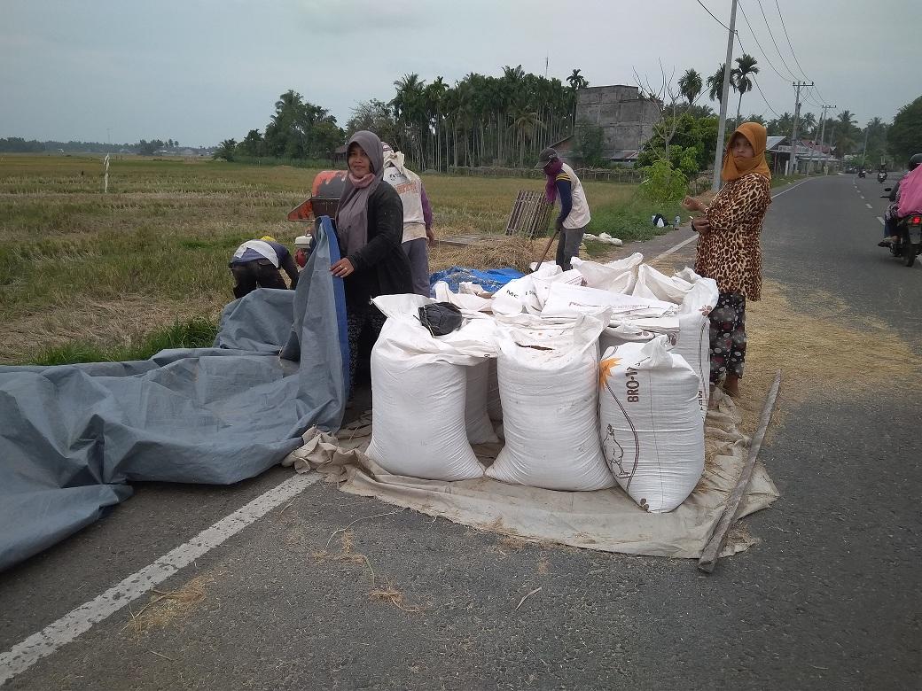 Harga Gabah Kering Panen Anjlok, Petani di Kabupaten Bireuen Menjerit