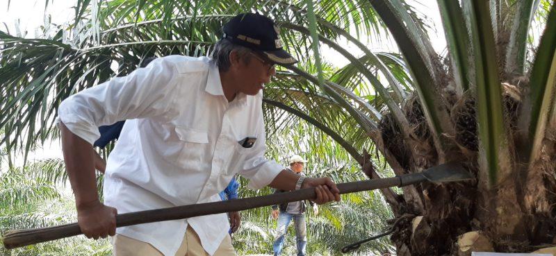 Koperasi Produksi Raja Swa Panen Perdana Kelapa Sawit