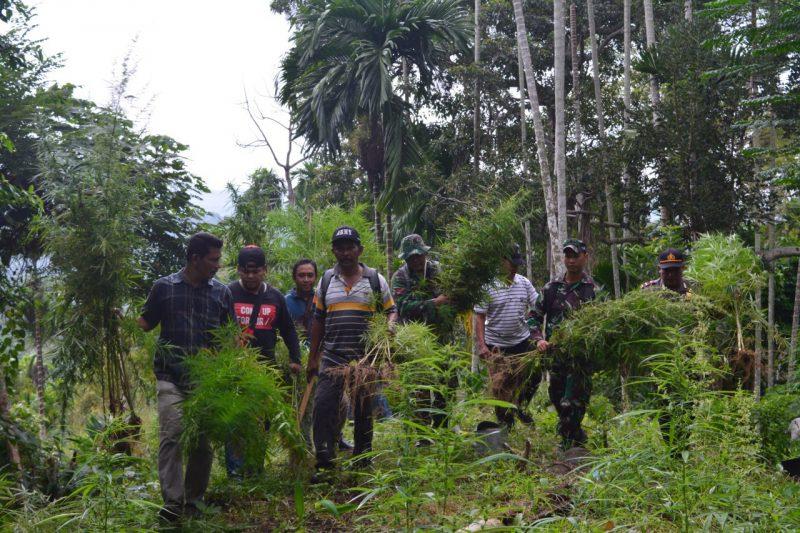 TNI - POLRI Musnahkan Ladang Ganja Seluas 52 Hektare