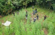 Polres Bireuen Musnahkan Dua Hektar Ladang Ganja