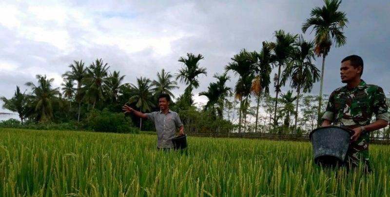 Anggota TNI Ini Ikut Memupuk Padi Petani Binaannya