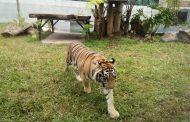 Unik ! Pengunjung Park And Zoo Lembang Bisa Ditemanin Binatang Buas