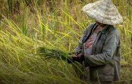 Dinas Pertanian Karawang Targetkan 33 Ribu Hektar Panen Bulan Ini