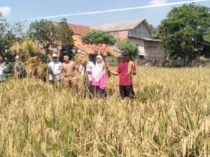 Kelompok Tani Banyu Mekar 1 Binaan Pertamina EP Berhasil Panen Padi Organik di Plawad