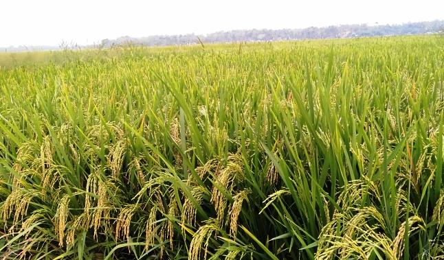 Distanpan Catat Produksi Gabah Rata - rata 7 Ton Per Hektare