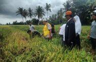 Tanaman Padi di Desa Matang Nibong Digerogoti Hama Wereng Coklat