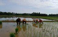Babinsa Terjun ke Sawah Bantu Petani Tanam Padi