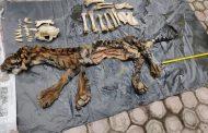 Polda Aceh Amankan Terduga Penjual Kulit Harimau