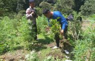 Polda Metrojaya Musnahkan Lima Hektar Ladang Ganja di Mandailing Natal