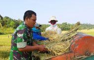 Babinsa TNI AD Ini Bantu Rontokan Padi Petani Binaannya